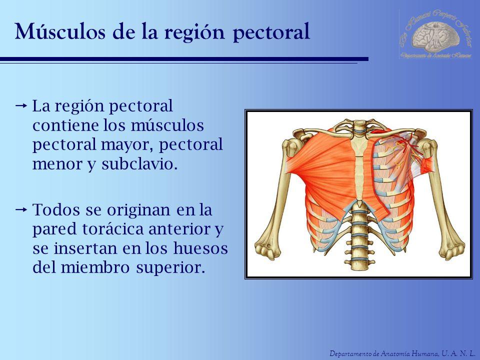 Músculos de la región pectoral