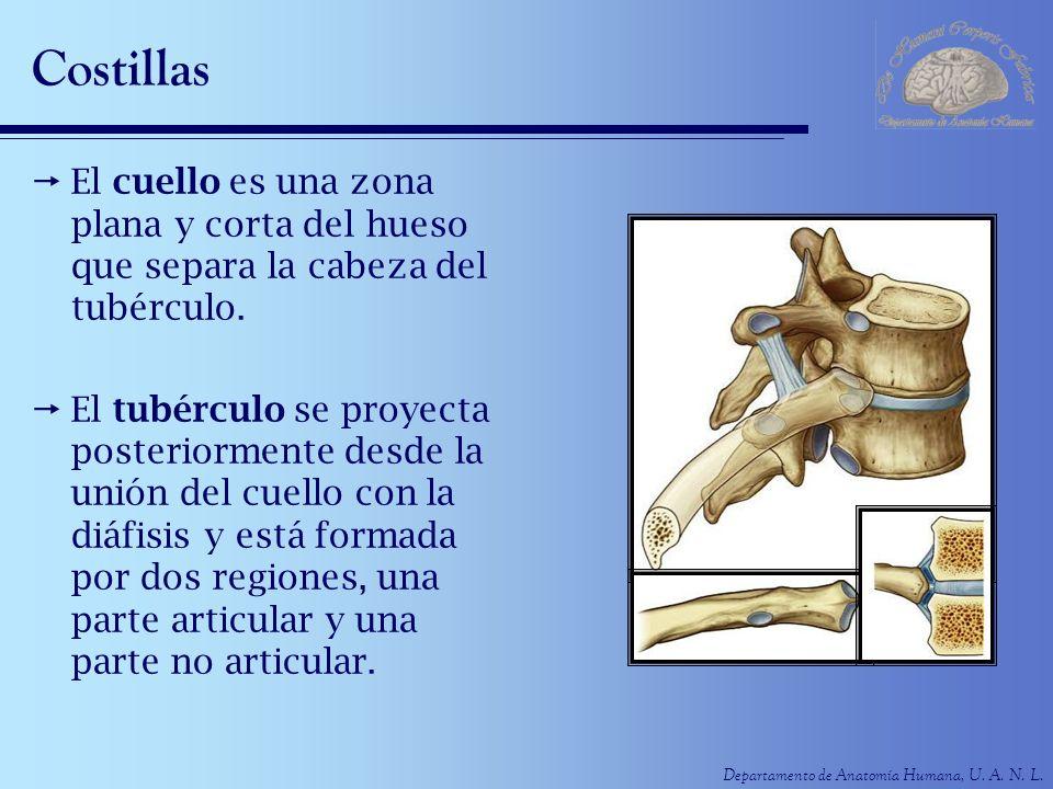 Costillas El cuello es una zona plana y corta del hueso que separa la cabeza del tubérculo.