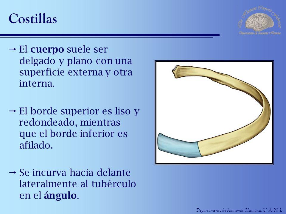 Costillas El cuerpo suele ser delgado y plano con una superficie externa y otra interna.