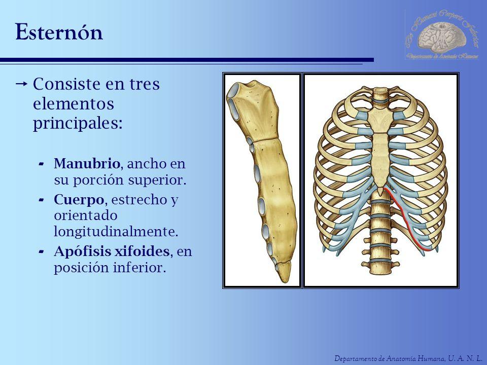 Esternón Consiste en tres elementos principales: