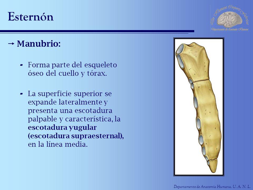 Esternón Manubrio: Forma parte del esqueleto óseo del cuello y tórax.