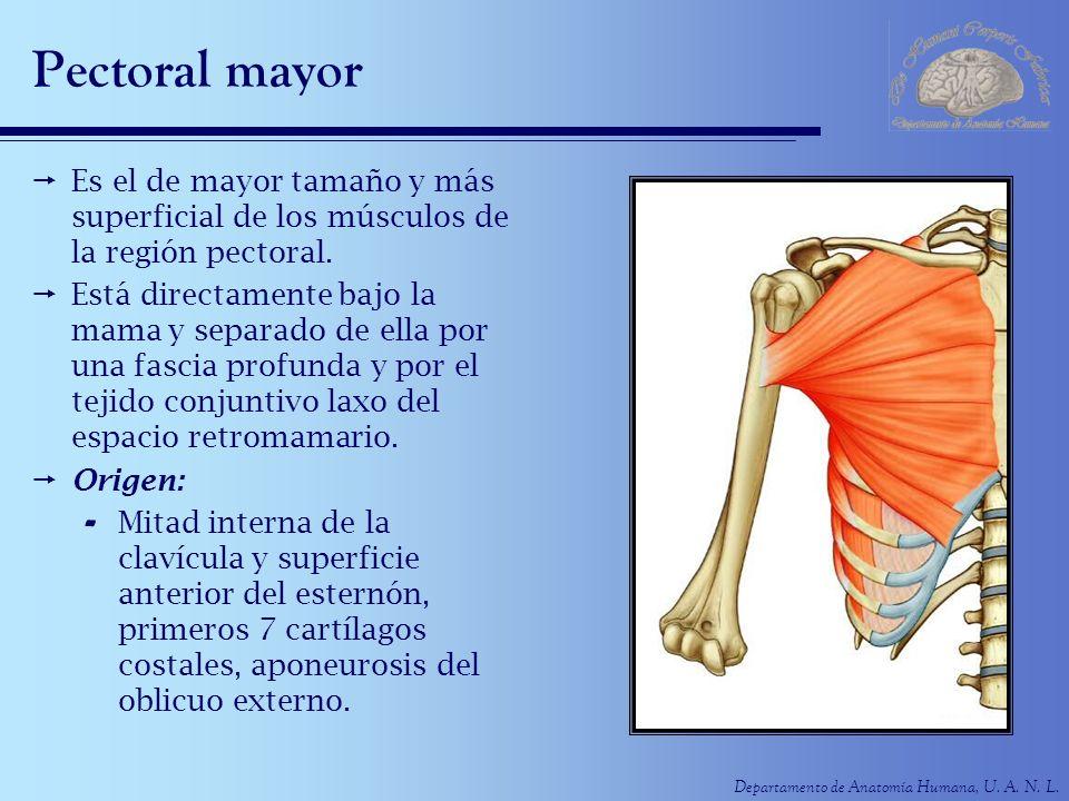 Pectoral mayor Es el de mayor tamaño y más superficial de los músculos de la región pectoral.