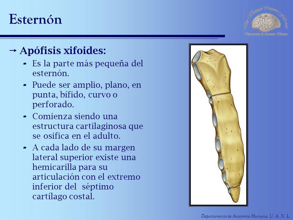 Esternón Apófisis xifoides: Es la parte más pequeña del esternón.