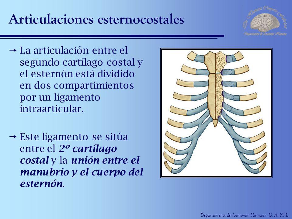 Articulaciones esternocostales