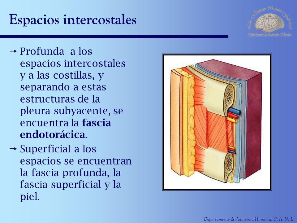 Espacios intercostales