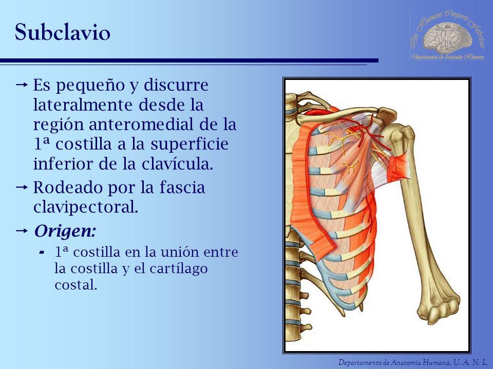 Subclavio Es pequeño y discurre lateralmente desde la región anteromedial de la 1ª costilla a la superficie inferior de la clavícula.