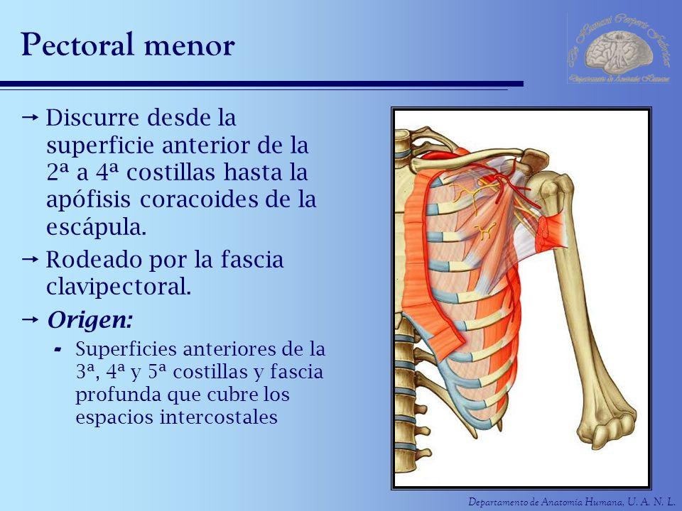 Pectoral menor Discurre desde la superficie anterior de la 2ª a 4ª costillas hasta la apófisis coracoides de la escápula.