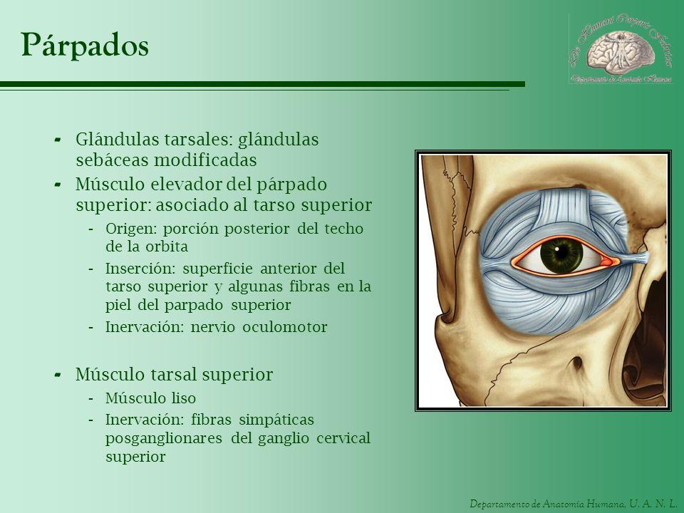 Párpados Glándulas tarsales: glándulas sebáceas modificadas