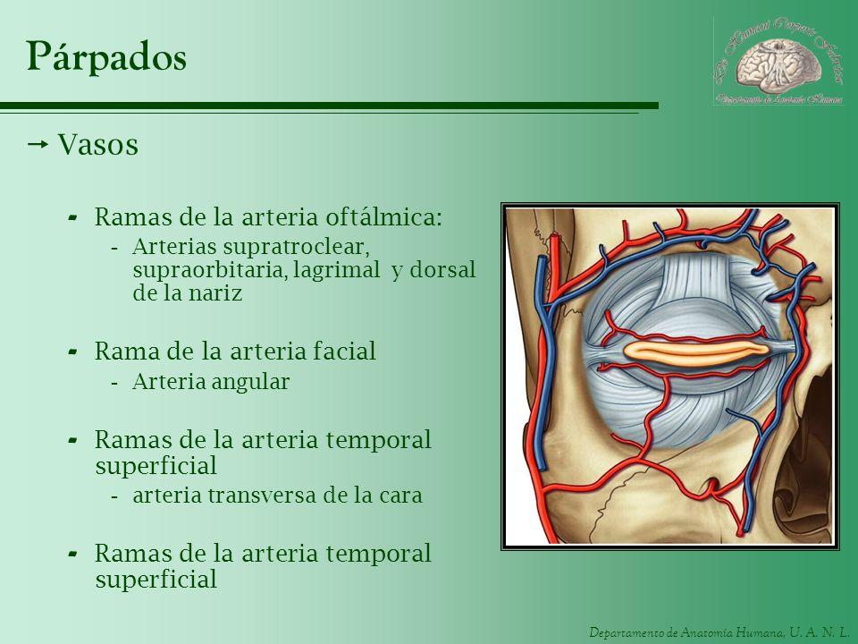 Párpados Vasos Ramas de la arteria oftálmica: