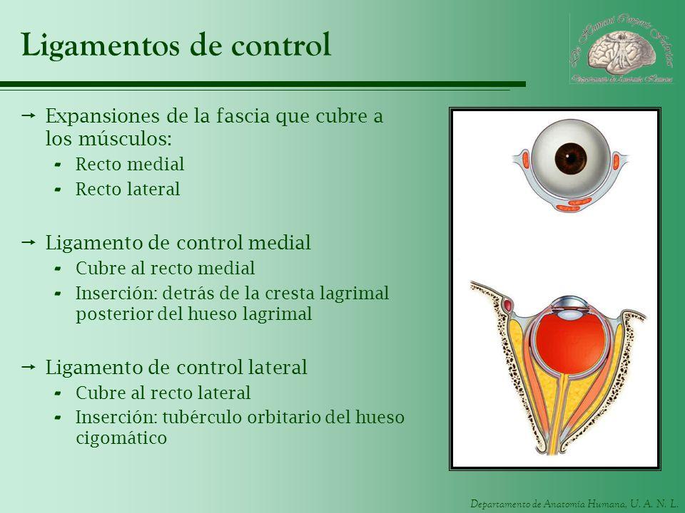 Ligamentos de control Expansiones de la fascia que cubre a los músculos: Recto medial. Recto lateral.