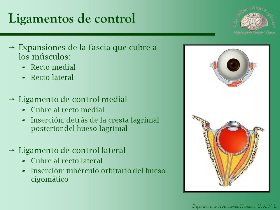 Ligamentos de controlExpansiones de la fascia que cubre a los músculos: Recto medial. Recto lateral.