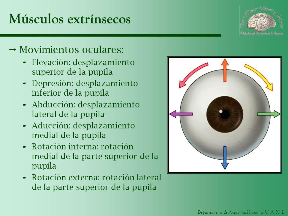 Músculos extrínsecos Movimientos oculares: