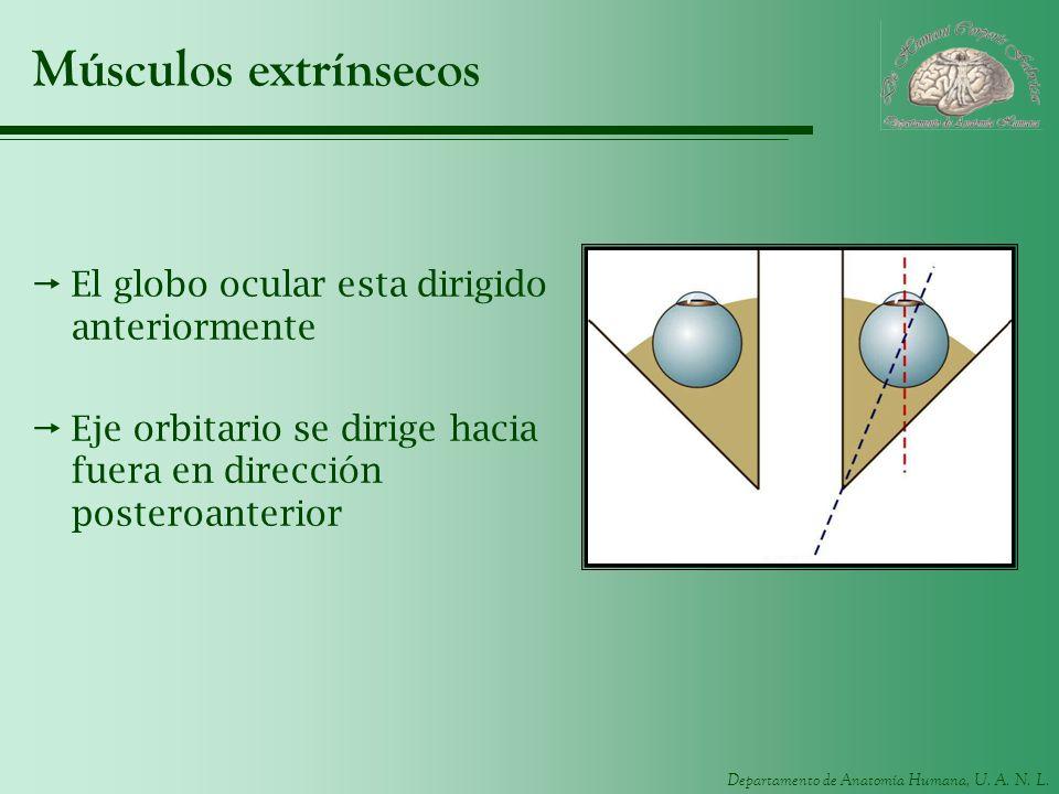 Músculos extrínsecos El globo ocular esta dirigido anteriormente
