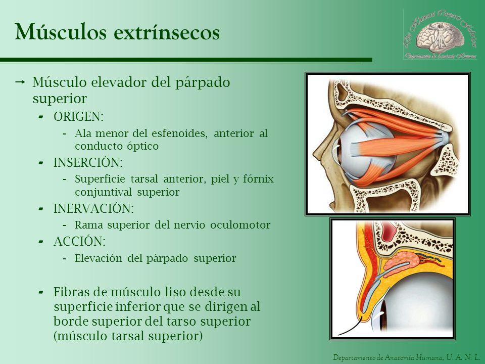 Músculos extrínsecos Músculo elevador del párpado superior ORIGEN: