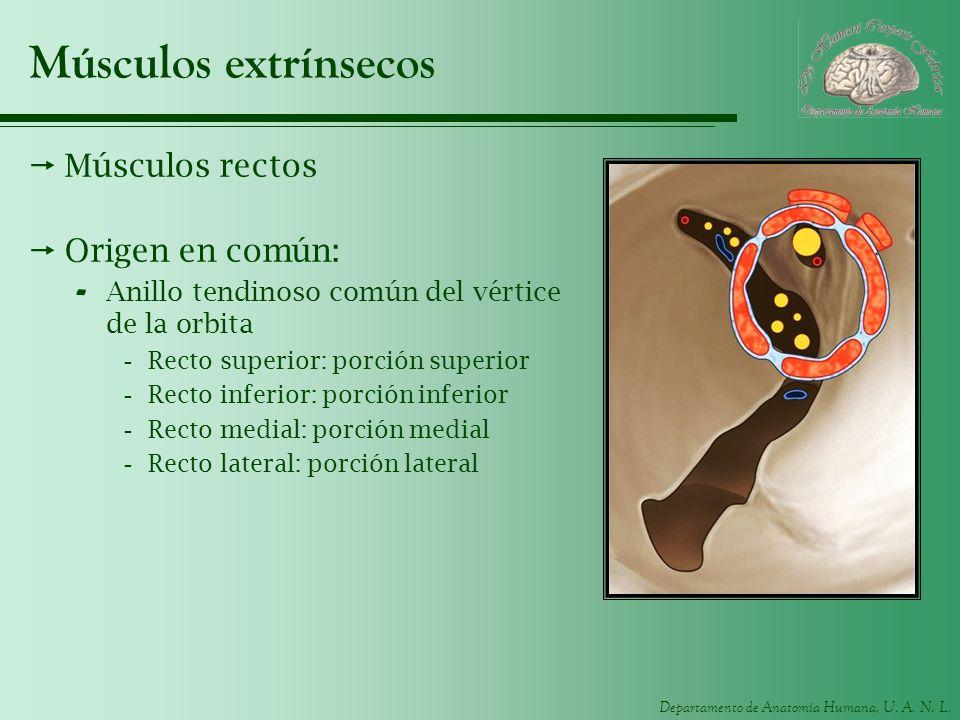 Músculos extrínsecos Músculos rectos Origen en común:
