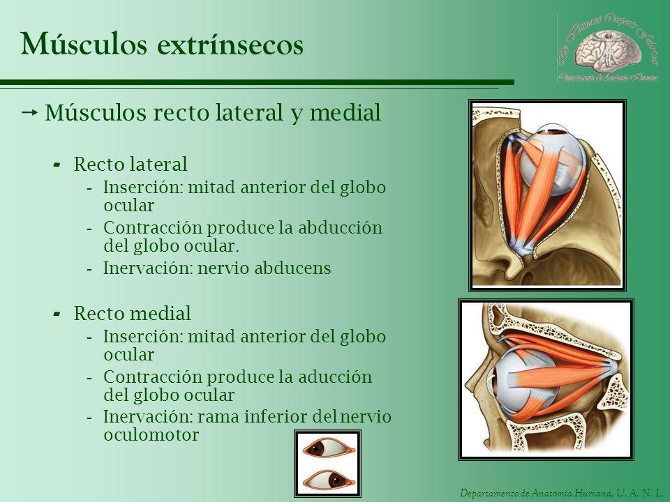 Músculos extrínsecos Músculos recto lateral y medial Recto lateral