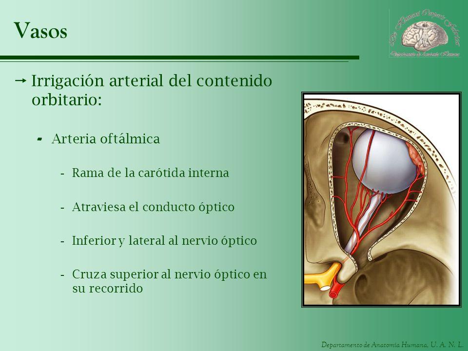Vasos Irrigación arterial del contenido orbitario: Arteria oftálmica