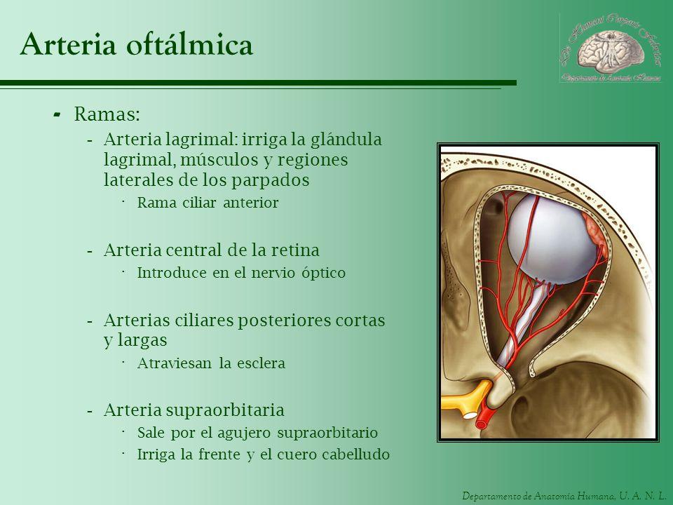 Arteria oftálmica Ramas: