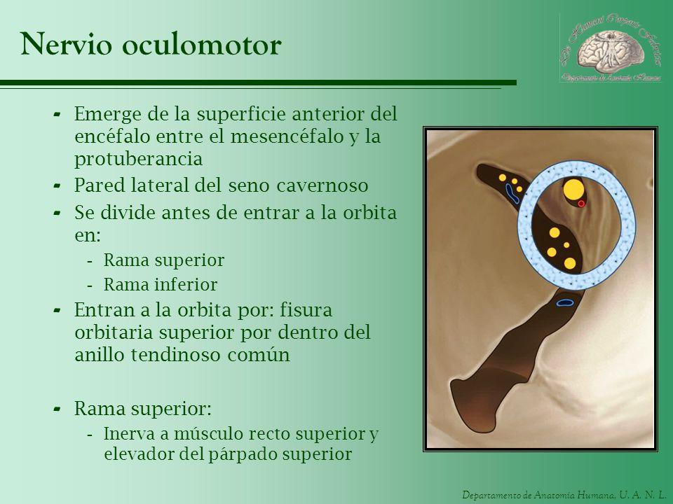 Nervio oculomotor Emerge de la superficie anterior del encéfalo entre el mesencéfalo y la protuberancia.