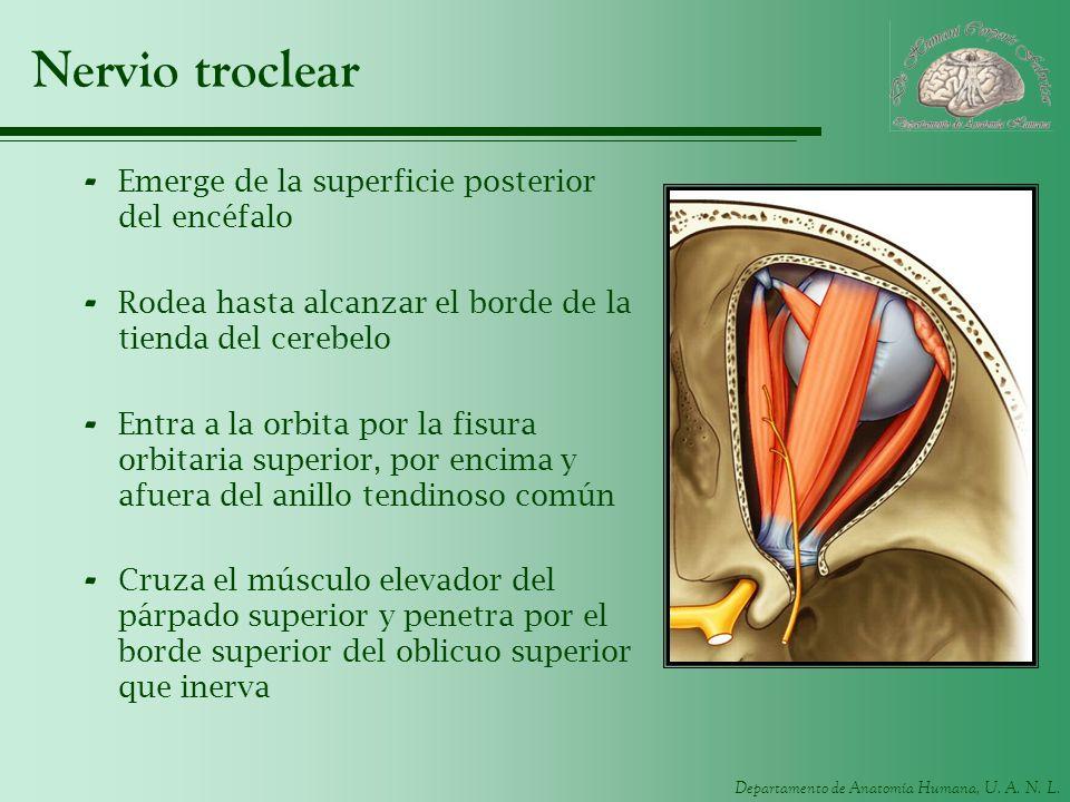 Nervio troclear Emerge de la superficie posterior del encéfalo