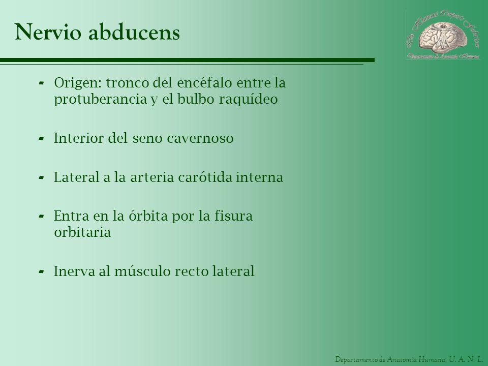Nervio abducensOrigen: tronco del encéfalo entre la protuberancia y el bulbo raquídeo. Interior del seno cavernoso.