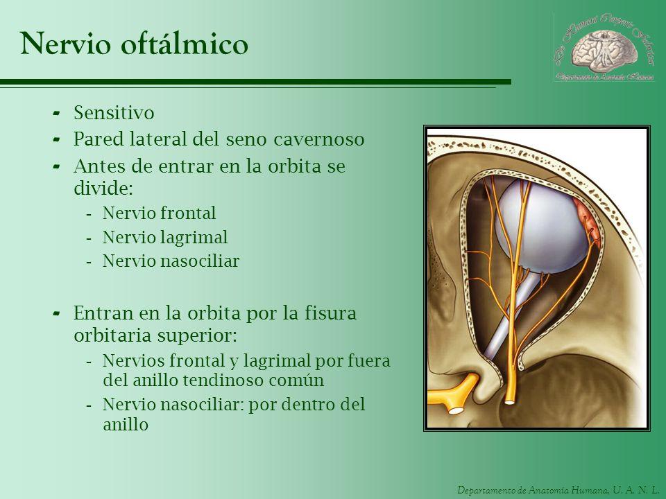 Nervio oftálmico Sensitivo Pared lateral del seno cavernoso