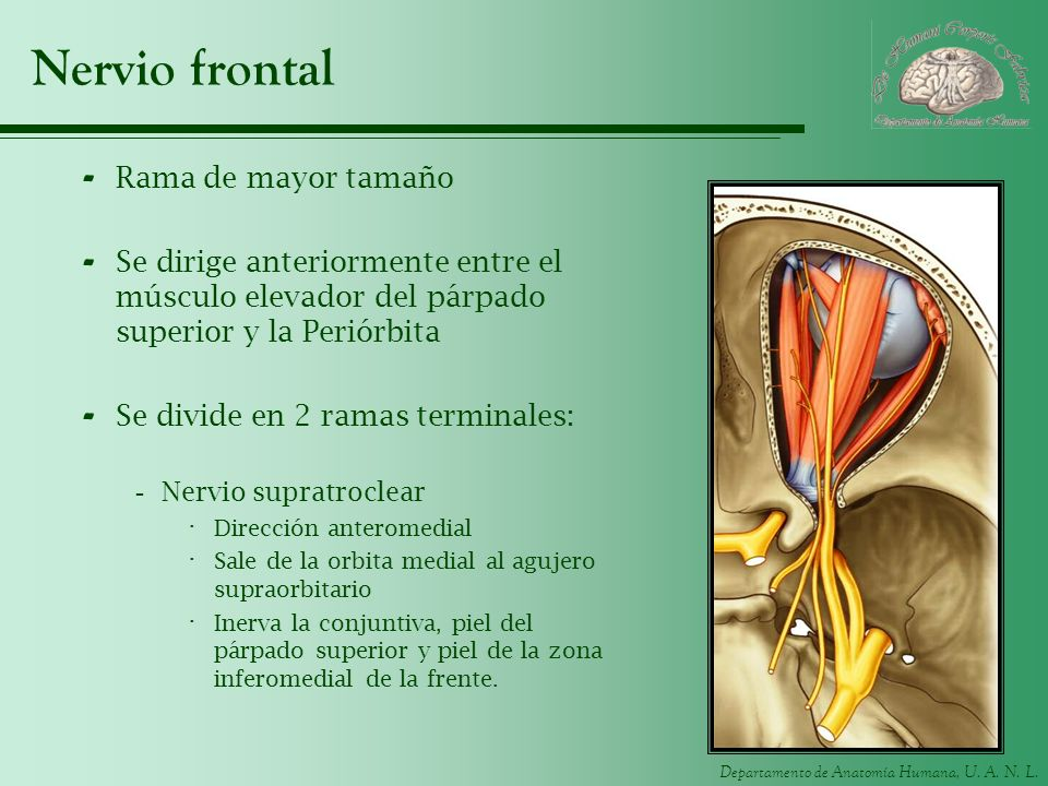 Nervio frontal Rama de mayor tamaño