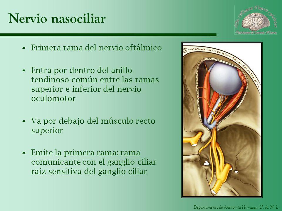 Nervio nasociliar Primera rama del nervio oftálmico