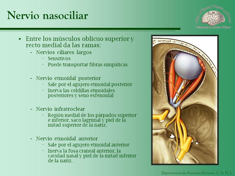 Nervio nasociliar Entre los músculos oblicuo superior y recto medial da las ramas: Nervios ciliares largos.