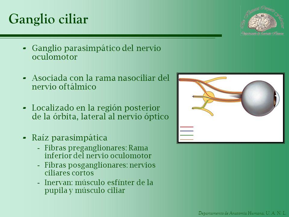 Ganglio ciliar Ganglio parasimpático del nervio oculomotor