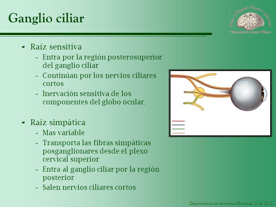 Ganglio ciliar Raíz sensitiva Raíz simpática