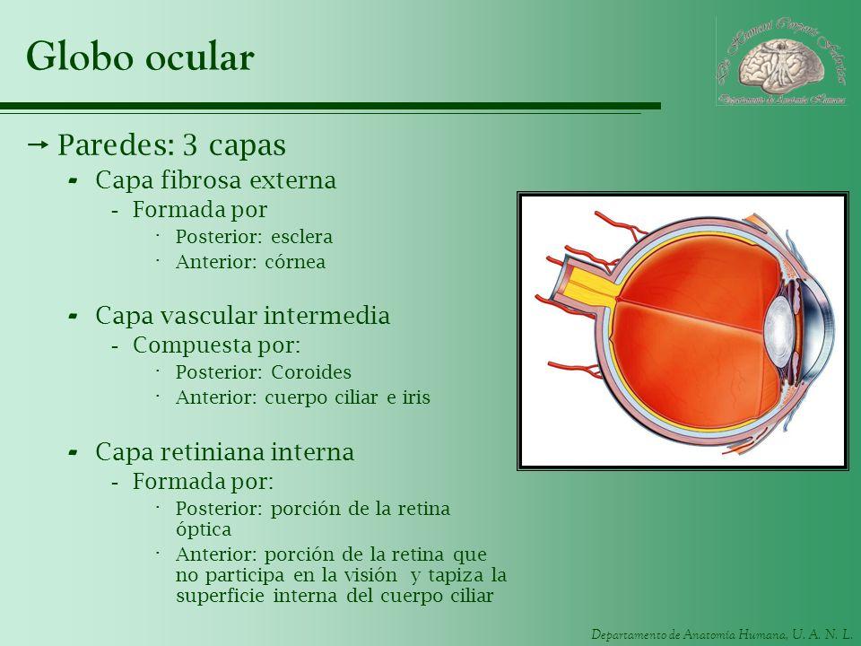 Globo ocular Paredes: 3 capas Capa fibrosa externa