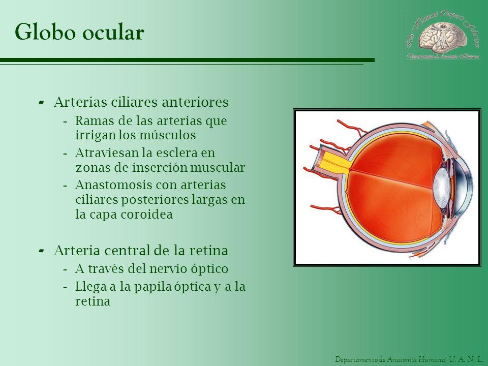Globo ocular Arterias ciliares anteriores Arteria central de la retina