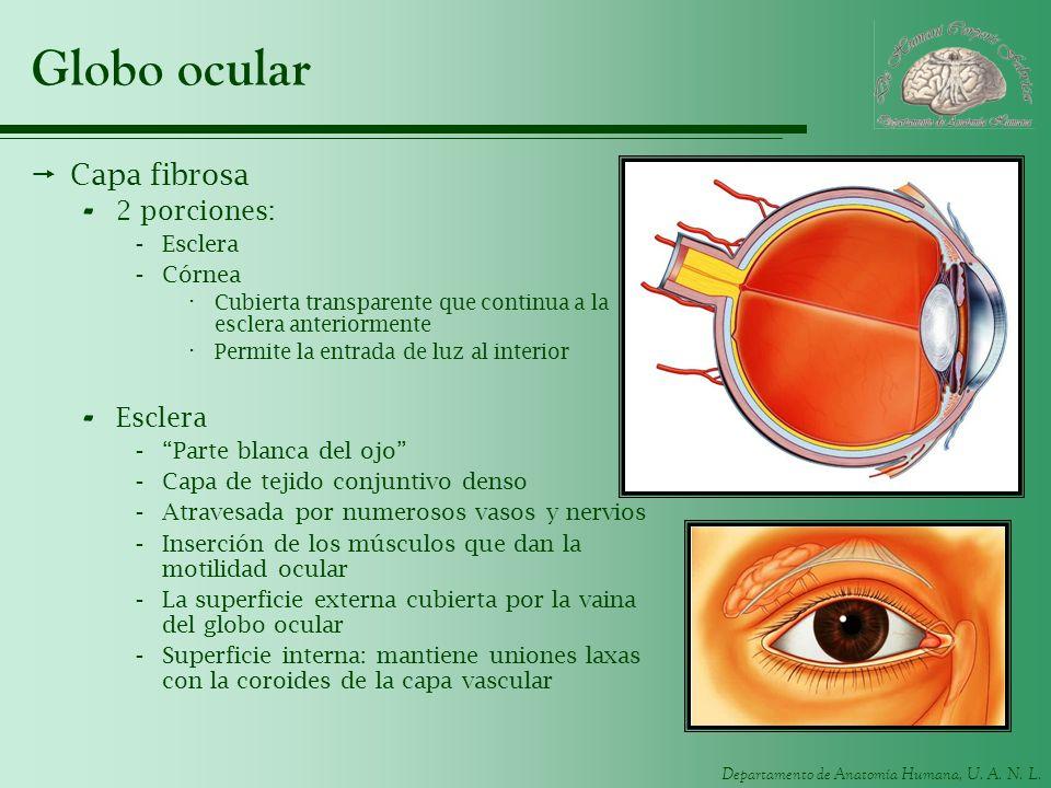 Globo ocular Capa fibrosa 2 porciones: Esclera Córnea