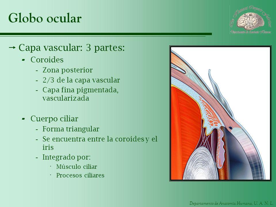 Globo ocular Capa vascular: 3 partes: Coroides Cuerpo ciliar
