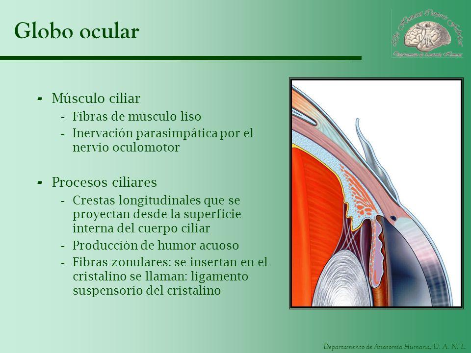 Globo ocular Músculo ciliar Procesos ciliares Fibras de músculo liso