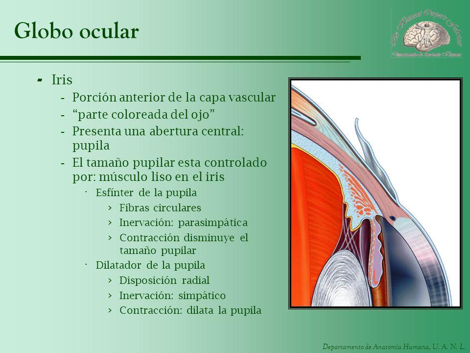 Globo ocular Iris Porción anterior de la capa vascular