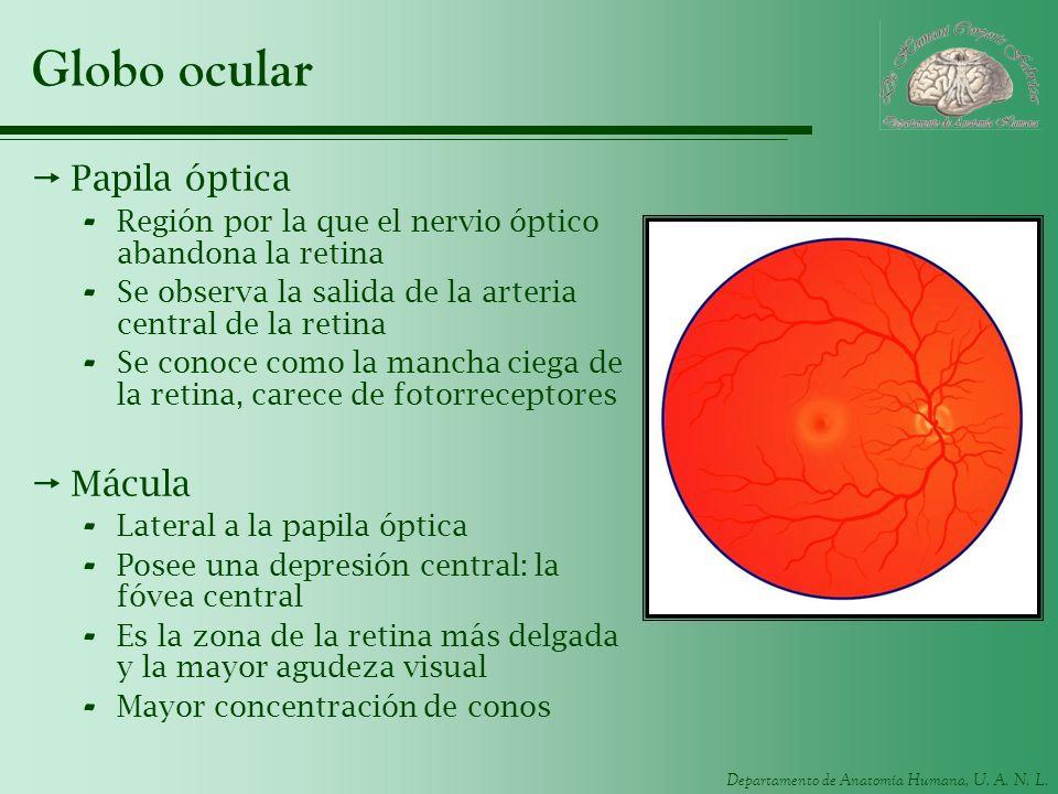 Globo ocular Papila óptica Mácula
