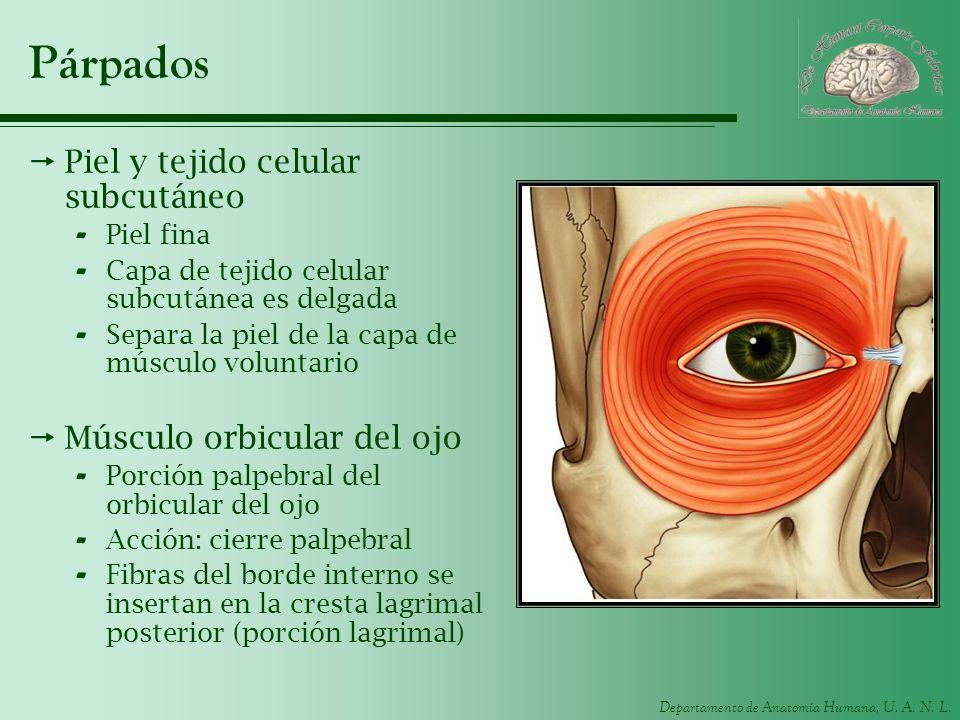 Párpados Piel y tejido celular subcutáneo Músculo orbicular del ojo