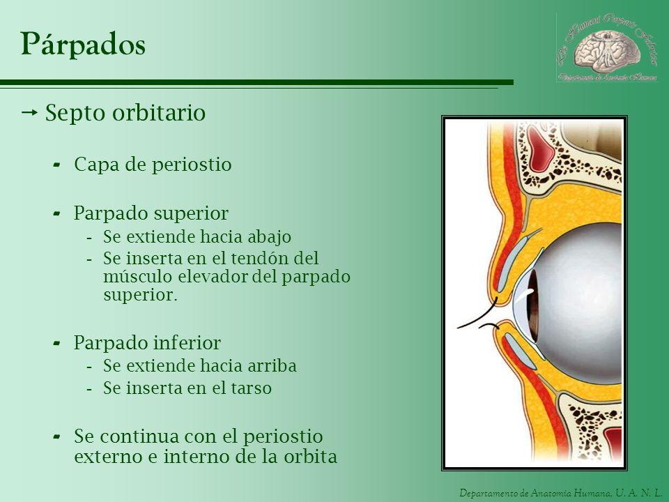 Párpados Septo orbitario Capa de periostio Parpado superior