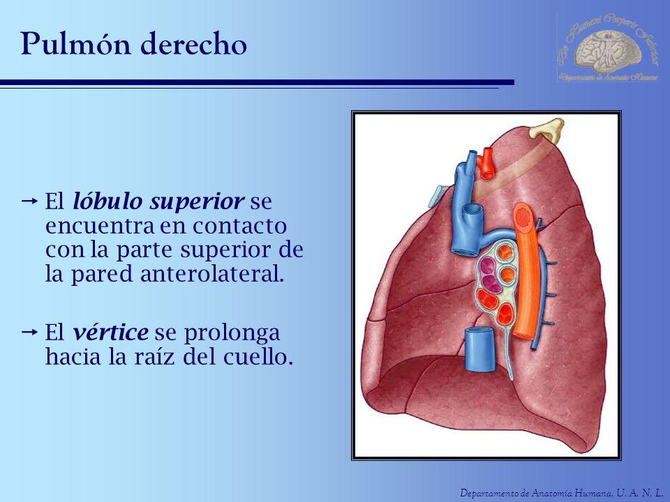 Pulmón derecho El lóbulo superior se encuentra en contacto con la parte superior de la pared anterolateral.