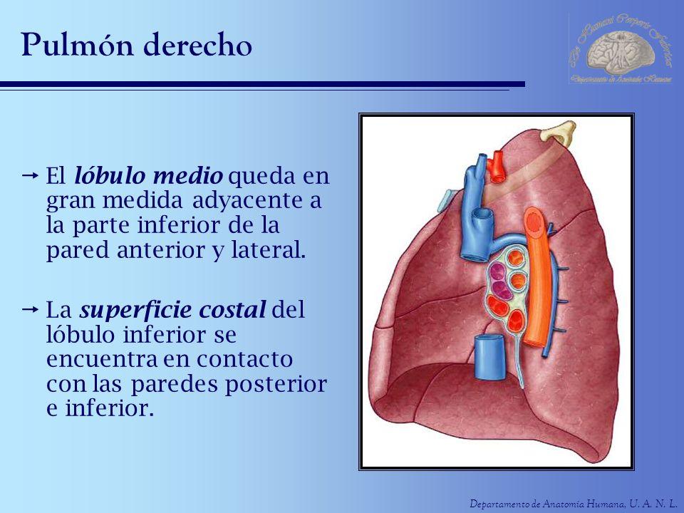 Pulmón derecho El lóbulo medio queda en gran medida adyacente a la parte inferior de la pared anterior y lateral.