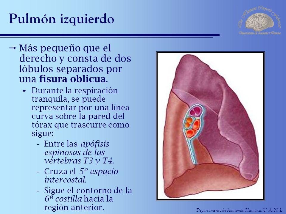 Pulmón izquierdo Más pequeño que el derecho y consta de dos lóbulos separados por una fisura oblicua.