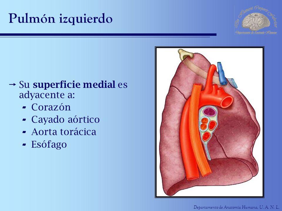 Pulmón izquierdo Su superficie medial es adyacente a: Corazón