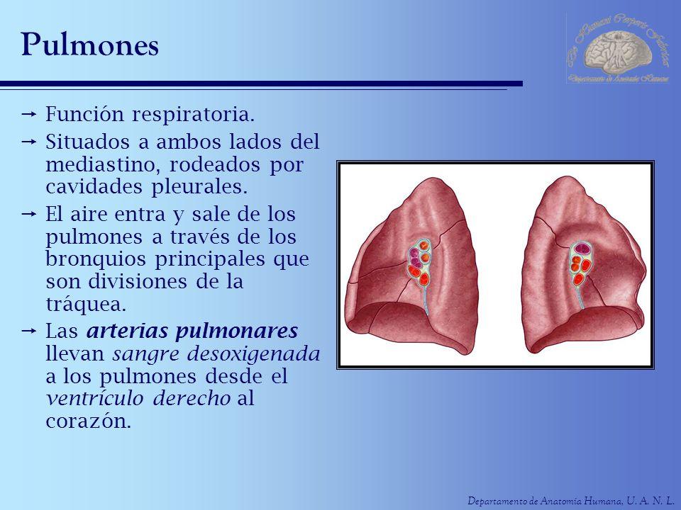 Pulmones Función respiratoria.