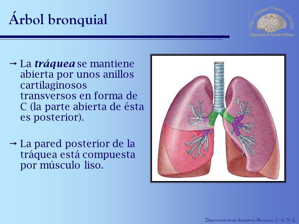 Árbol bronquial La tráquea se mantiene abierta por unos anillos cartilaginosos transversos en forma de C (la parte abierta de ésta es posterior).