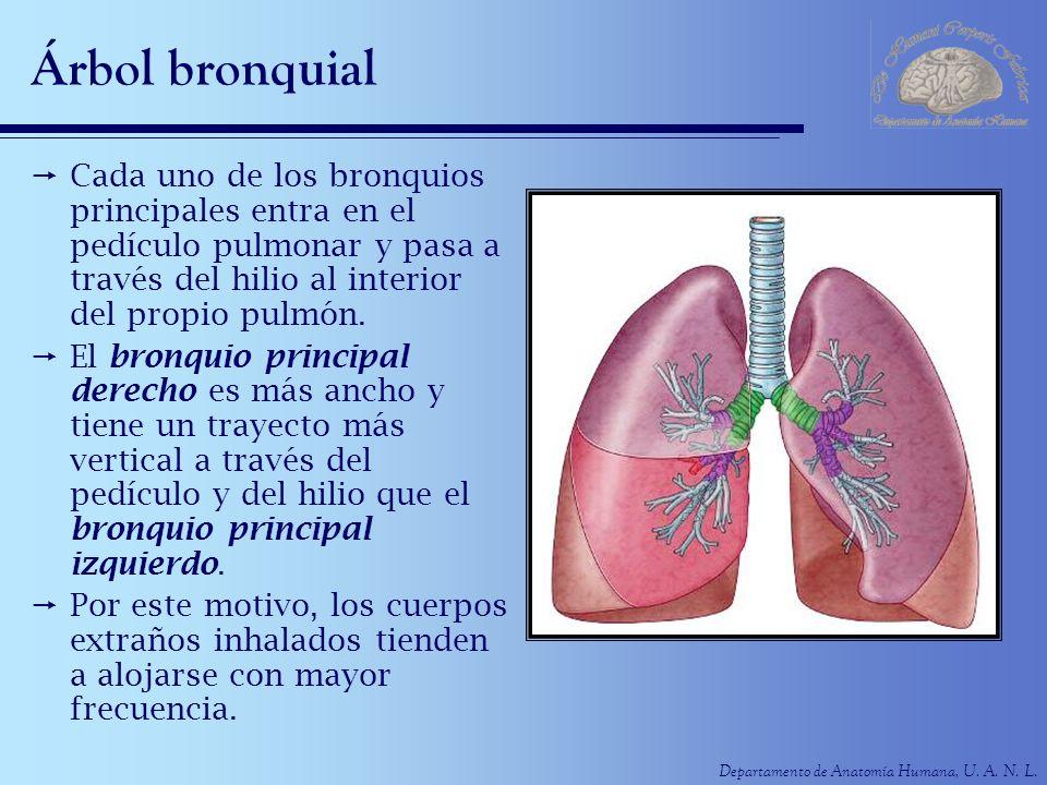 Árbol bronquial Cada uno de los bronquios principales entra en el pedículo pulmonar y pasa a través del hilio al interior del propio pulmón.