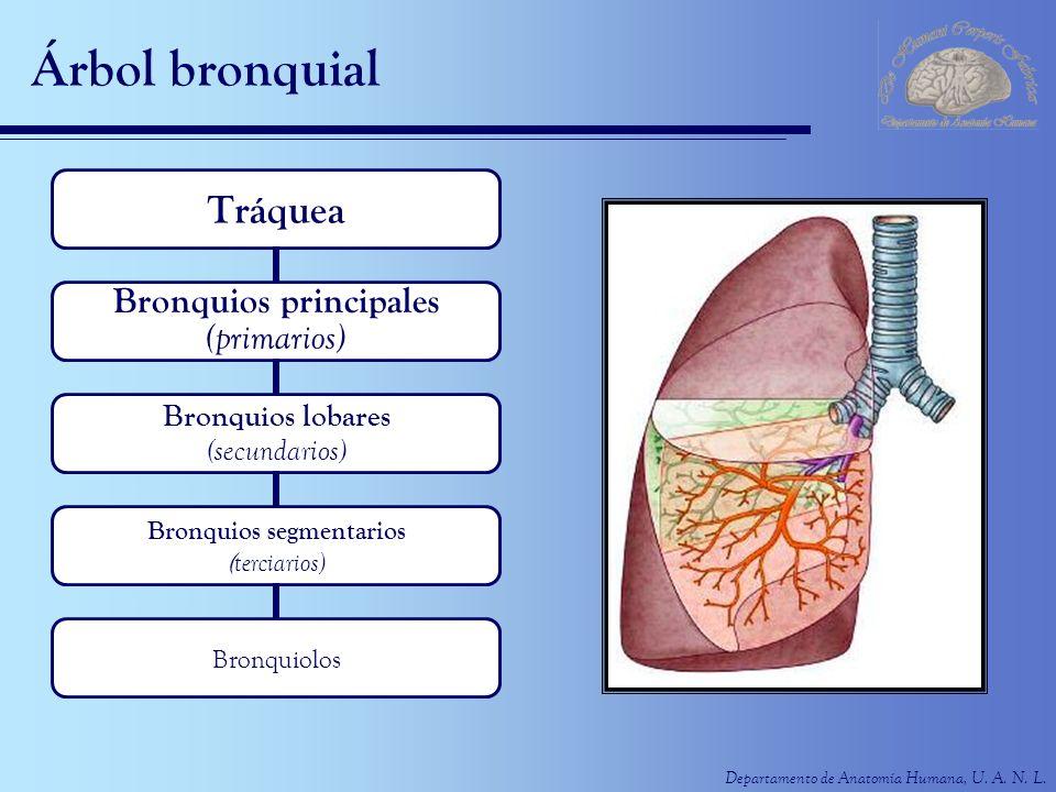 Árbol bronquial