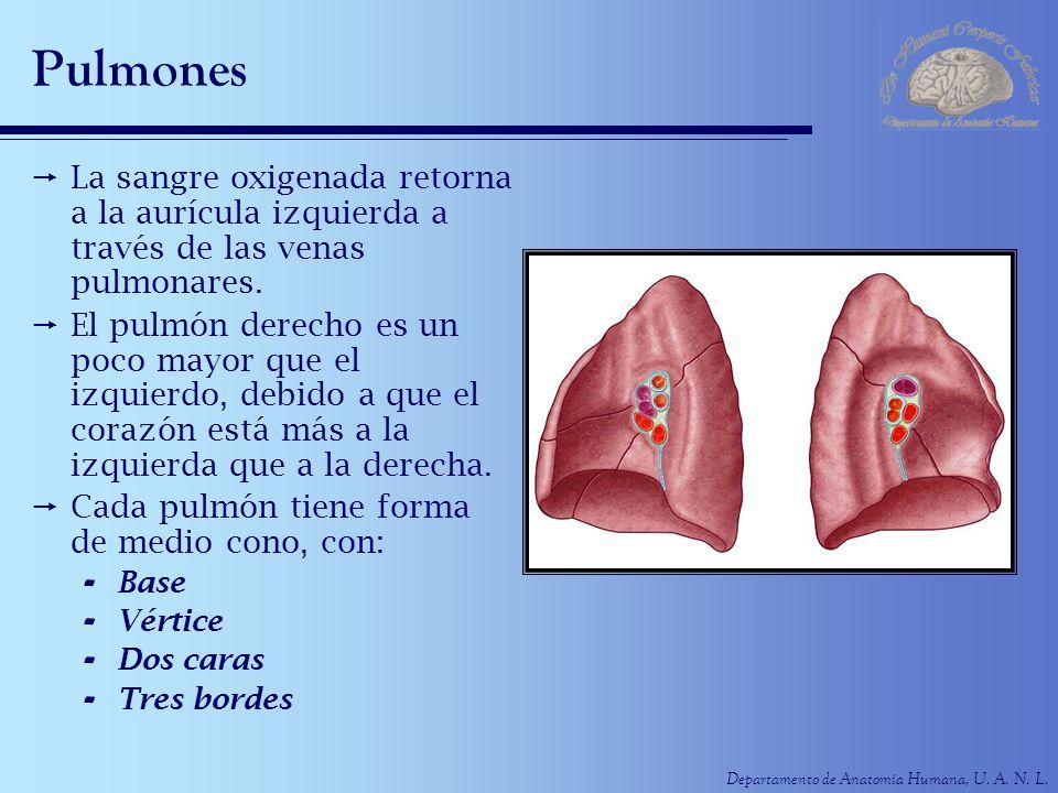 PulmonesLa sangre oxigenada retorna a la aurícula izquierda a través de las venas pulmonares.