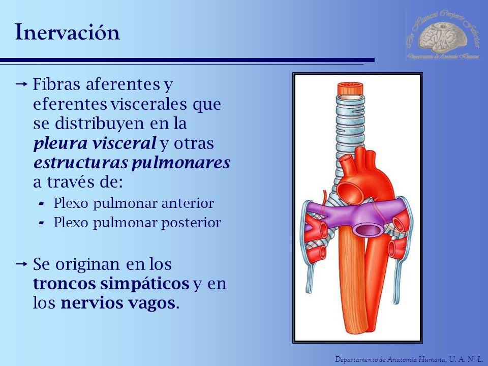 InervaciónFibras aferentes y eferentes viscerales que se distribuyen en la pleura visceral y otras estructuras pulmonares a través de: